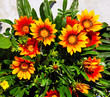 Gazania blooming flowers
