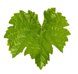 Grape leaf isolated on white background, clipping path included
