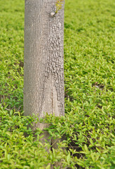 trunk of a tree against a background of green foliage