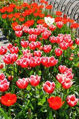 Plant of red tulips