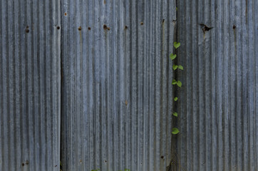 ivy zinc