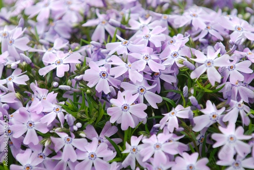 Creeping Moss Phlox, Phlox subulata Emerald Blue