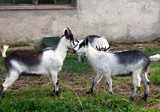 young butting goats