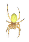 Cucumber spider isolated on white background