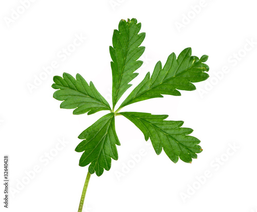 green plant with five leaves isolated