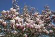 Fleurs roses de magnolia sur fond de ciel bleu