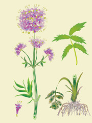 Officinal valerian-blossoming plant and root