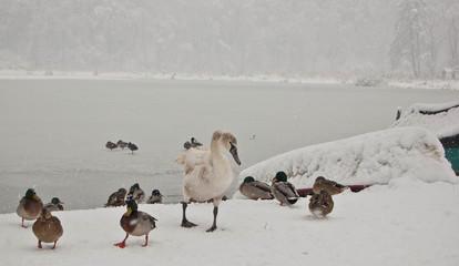 anatre e cigno sulla neve