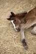 Poulain, cheval, écurie, harras, équitation, animal, ferme