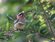Eating Cedar Waxwing