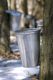 Droplet of sap flowing from the maple tree into a pail