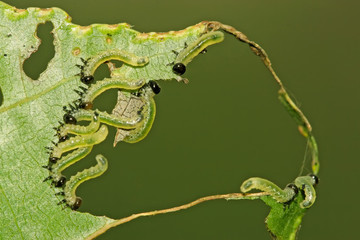 groups of insects eating leaves