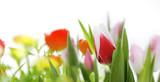 Fototapety tulpen und frühlingsblumen