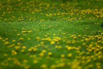 Wiese mit Löwenzahn - Lawn with dandelion