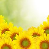 Fototapety Beautiful yellow Sunflower background