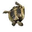 Herman's Tortoise turtle isolated on white