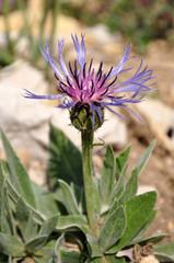 Kornblume, Alpenblume