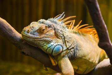 Big iguana lizard in terrarium