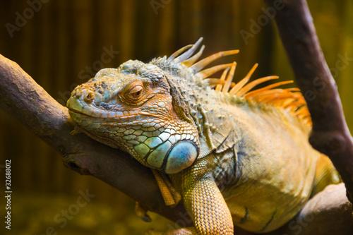 Staande foto Kameleon Big iguana lizard in terrarium