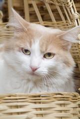 Gato en canasta ojos amarillos