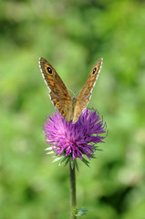 Schmetterling, Alpendistel, Blume