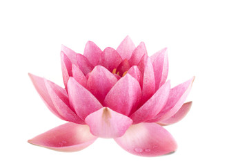 Pink water lily closeup isolated over white background