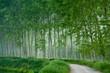 pioppeto alberi 1620