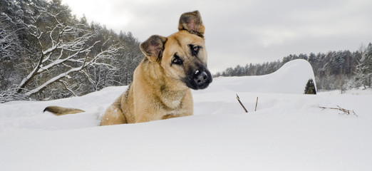 Red dog sits in a snowdrift