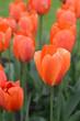 Beautiful Orange Tulip Flowers With Shallow DOF