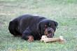 rottweiler agressif et son os