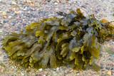 Braunalge (Brown algae fucus) poster