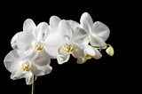 Fototapety Beautiful orchid
