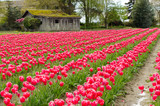 Field of tulips  over an old barn