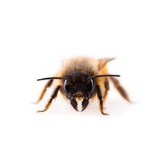 Biene blickt in die Kamera
