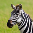 Zebra in the Serengeti National Park, Tanzania