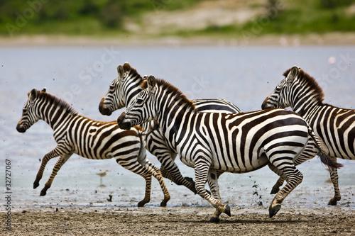 Zebry w Parku Narodowym Serengeti, Tanzania