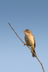 A common  Whitethroat (Sylvia communis) singing on the branch