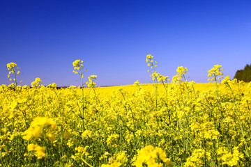 Field on which the plant a rape blossoms
