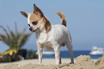 chihuahua on the beach