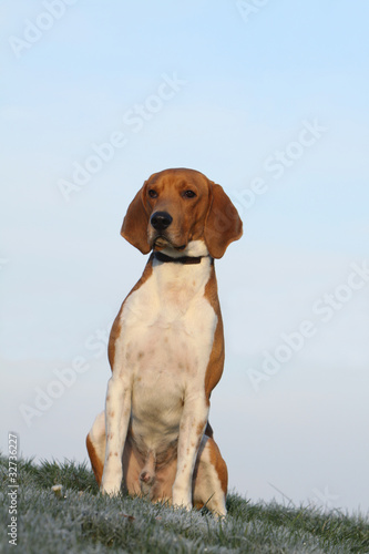 beagle harrier assis de face