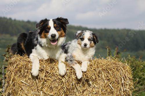 belle pose de deux bergers australiens