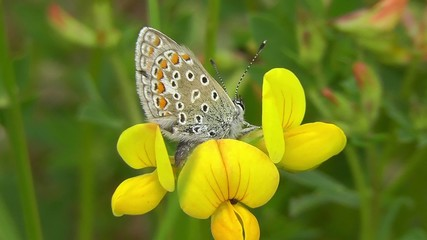Bläuling - Lycaenidae - Ginster
