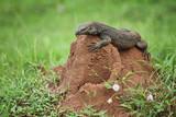 Monitor Lizard (Varanus salvator) in Sri Lanka poster