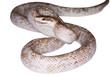 serpente aggressivo