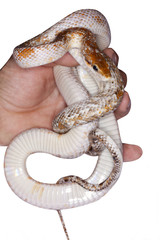 serpente in mano