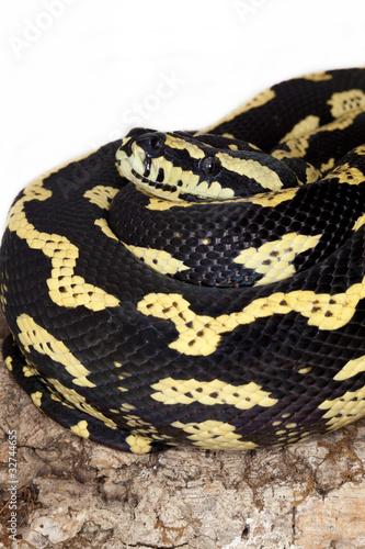 Serpente giallo e nero di brunobarillari foto stock for Serpente nero italiano