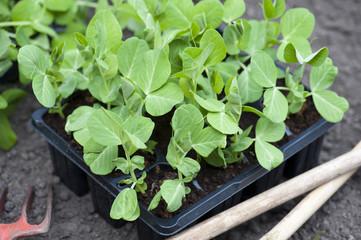 Garden Pea Plants