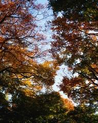 Beech Trees In Marley Park, Dublin, Ireland