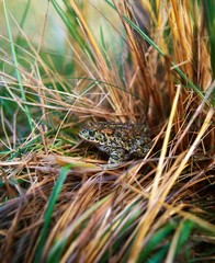 Natterjack Toads, Castlegregory, Co Kerry, Ireland