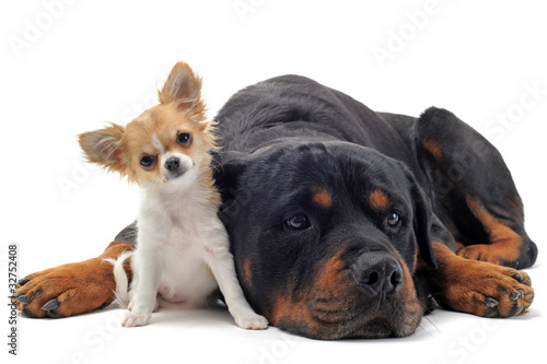 rottweiler et chihuahua